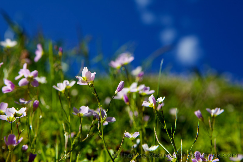 A bunch of lanceleaf springbeauty (Claytonia lanceolata) reach into the afternoon sun and sky along the train on Saddle Mountain. A combination of sky and flowers.