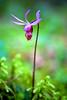 Calypso Orchid, Corvallis, Oregon
