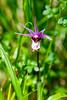 Sunlit Calypso Orchid