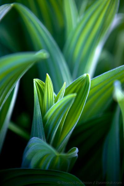 Corn Lily Evening Macro