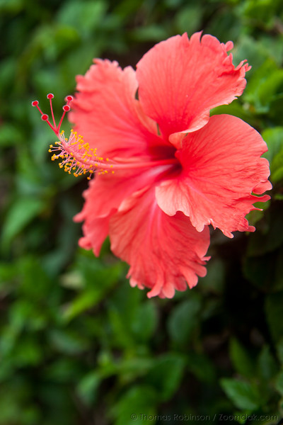 Hawaii State Flower - The Hibiscus