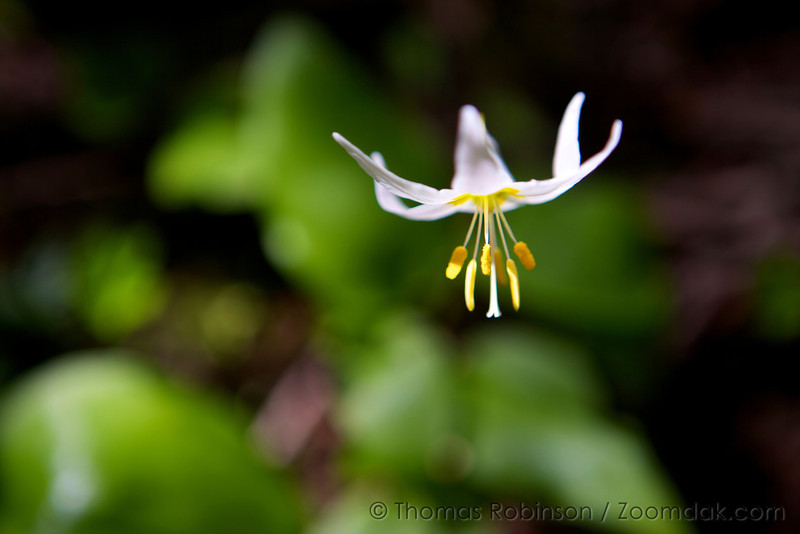 An avalanche lily (Erythronium montanum) as seen from above grows on the forest floor. A white and yellow forest flower.