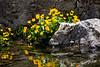 Marsh Marigold Along Lac du Combal