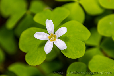 Oregon Oxalis Bloom