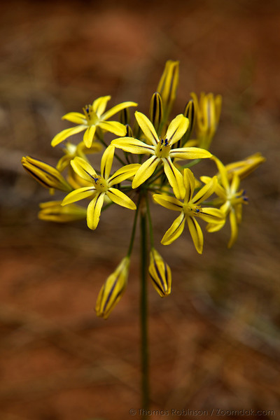 A bunch of Prettyface (Triteleia ixioides) sprout in a forest near Lassen National Park in Northern California.