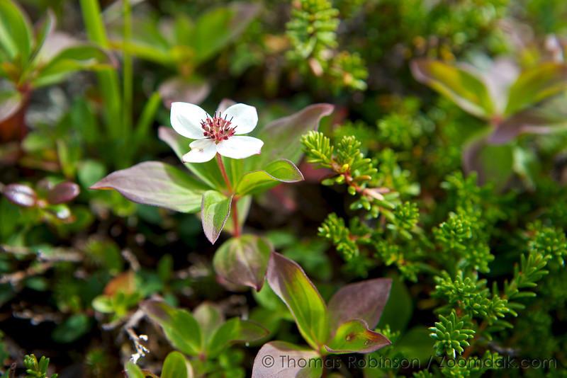 Canadian Bunchberry, Alaska