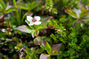 Canadian Bunchberry, Alaska