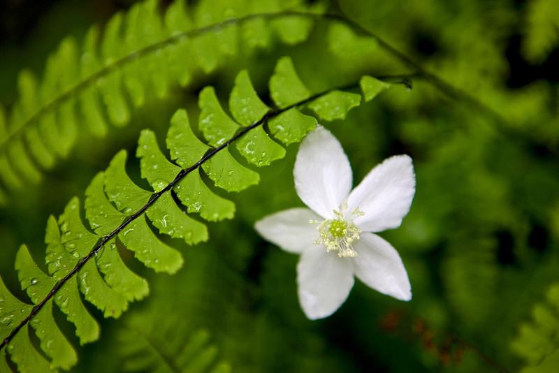 Beautiful Woodland Anemone