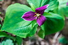 Dying Trillium in the Sunlight