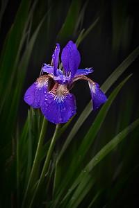 Irises050620-326-Edit