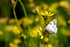 A checkered white butterfly (Pontia protodice) pollinates yellow flowers in Glacier National Park, Montana.