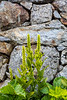 Wall Corn Lily