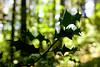 Wild Holly in Oregon