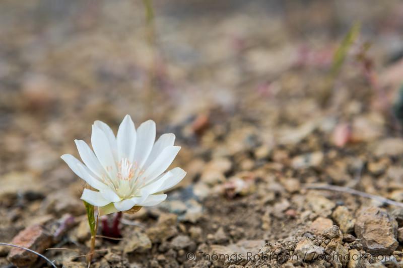 Pilot Butte Wildflowers