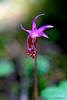 Calypso Orchid, Olympic National Park