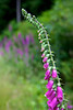 The stalk of a common fox glove (Digitalis purpurea) from flowers to buds bending under the weight of itself.