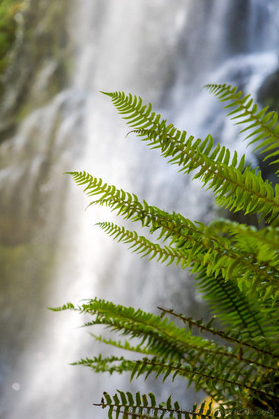 Fern Fronds and Proxy Falls