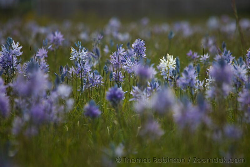 One strand of white Cusick's Camas (Camassia cusickii) stands out in a field of Common Camas.