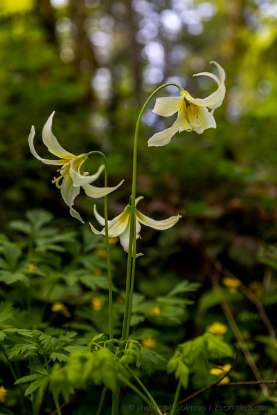 Oregon Fawn Lily Trio