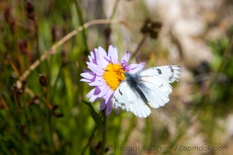 Butterfly and Aster
