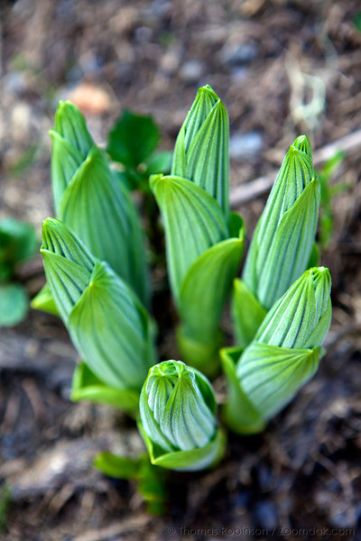 Five new shoots of corn lily, also called False Hellebore (Veratrum viride) grow through the forest floor in the Olympic National Park.