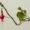Fuchsia Hanging Plant