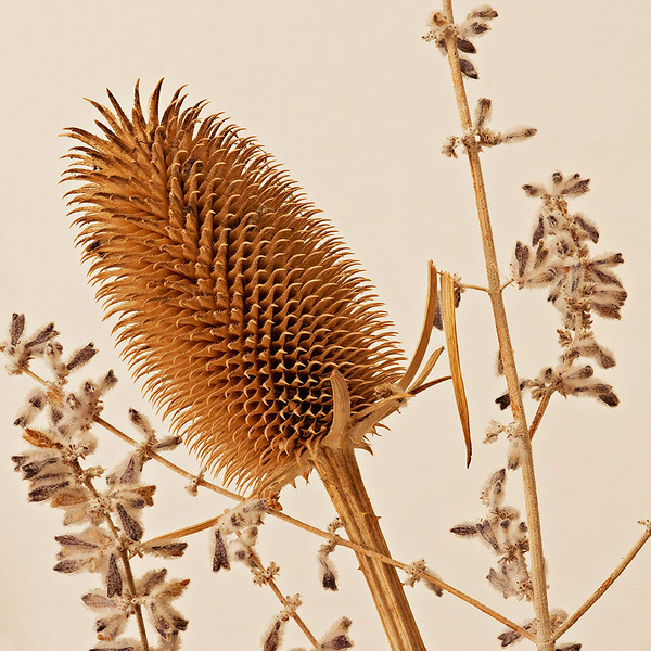 Dry Teasel and Russian Sage