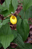 Lady Slipper, May 2010
