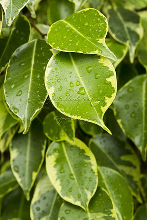 Leaves, After the Rain