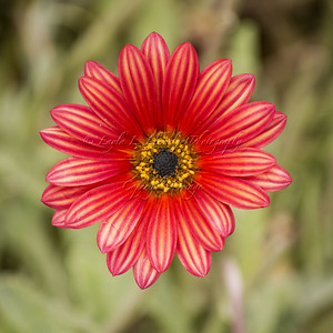 Golden Red Daisy