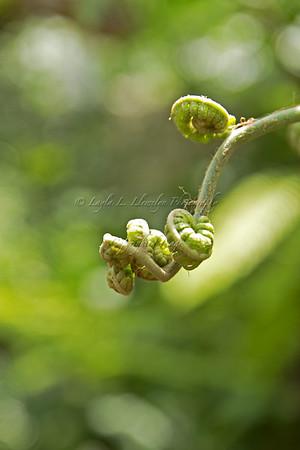 Awakening curling fern