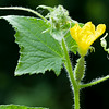 Zucchini Flower and Leaves