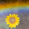 Rain, Rainbow and Sunflower