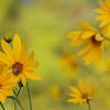 Yellow Flowers & Bee