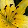 Yellow Lily Macro