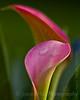 -7476 Calla Lily Rose Gem - Zantedeschia aethiopica