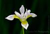 -7436   New iris bloom after a rain.
