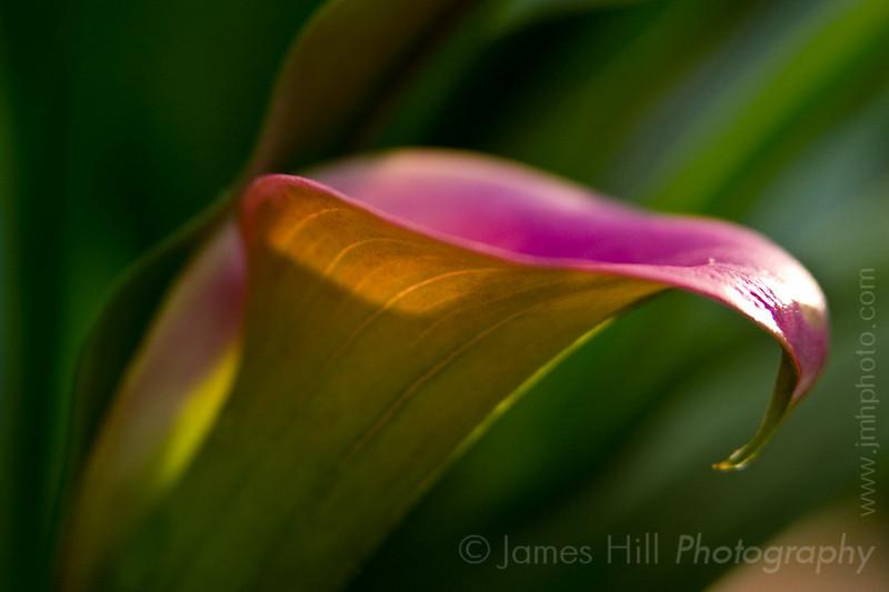 -7486 Calla Lily Rose Gem - Zantedeschia aethiopica