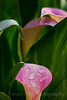 -7496 Calla Lily Rose Gem - Zantedeschia aethiopica