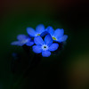 Blue.<br /> Forget me nots