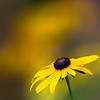 Echinacea - Yellow Coneflower
