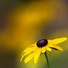 Echinacea - Yellow Coneflower