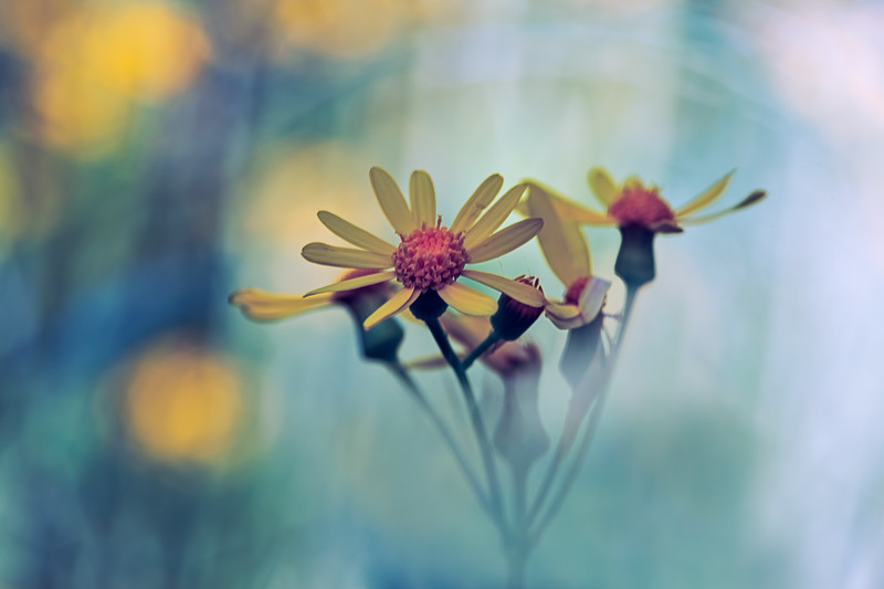 Golden Ragwort -- Packera aurea (formerly called Senecio aureus)<br /> <br /> Of Tomorrow I Dream<br />  <br /> Long gone are the dreams of yesterday,<br /> to be the best.<br />  <br /> Now the dream is just to be.<br />  <br /> Upon the wake of tomorrow,<br /> my dream<br /> is just to see.<br /> <br /> -Author Unknown.