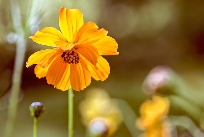 Cosmos Sulphureus Wildflower
