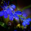 Lucia -- Dark Blue. Lobelia erinus