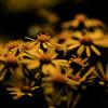 Golden Ragwort -- Packera aurea (formerly called Senecio aureus)