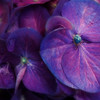 Hydrangea<br /> blue and purple