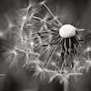 Dandelion Seedhead. Monochrome