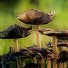 Aging mushrooms