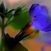 Scopia Gulliver Blue Bacopa